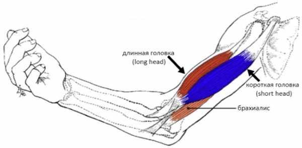 Травма бицепса руки. Растяжение бицепса руки — следствие сверхнагрузок